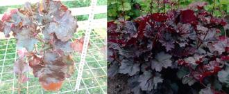 Heuchera micrantha Palace purple
